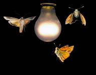 moths lightbulb